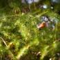 Bändelkorsnäbb i ett Lärkträd. (Kiosken Ulleråker)